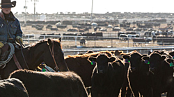 Cattle Trade thumbnail