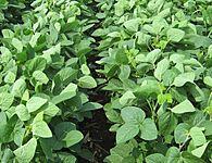 Soybean Balance Sheet thumbnail