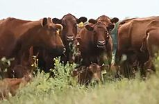 Beef/Cattle Videos thumbnail