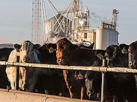 Feedyards  (Cattle Feeding) thumbnail