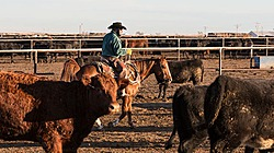 Cattle on Feed thumbnail
