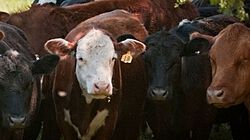 Cattle Theft thumbnail
