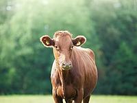 Cattle Nutrition thumbnail