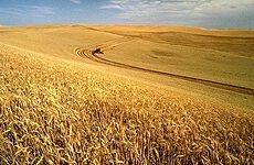 Wheat thumbnail