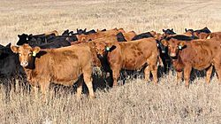 Cattle Network thumbnail