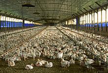 Poultry thumbnail